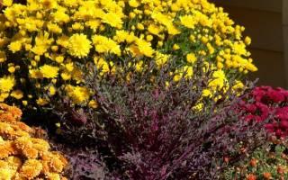 Правильный уход и пересадка хризантемы на зиму.