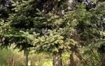 Деревья Болгарии. Пихта. Фото