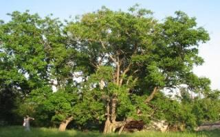 Деревья Болгарии. Платан. Часть 9