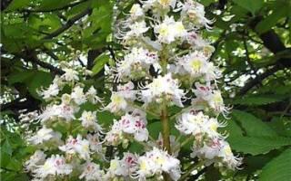 Где и когда цветут каштаны? Фото цветов каштана