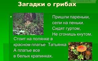 Загадки про грибы с ответами для детей. 100 лучших