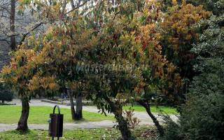 Деревья Болгарии. Фотиния. Фото и описание. Часть 4