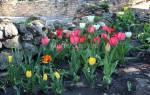 Цветы Болгарии. Тюльпаны: фото