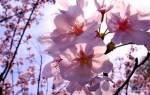 Деревья Болгарии. Цветущие вишни